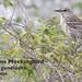 Bahama Mockingbird, Mimus gundlachii
