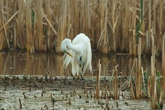 Primping Egret (chumlee10) Tags: wi wisconsin horiconmarsh horicon marsh bird egret nature reeds water lakehoricon waupun