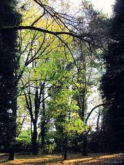 Una tarde otoñal (Inés Luque Aravena) Tags: yellow giallo amarillo tree albero árbol nature natura naturaleza valdivia chile sur branch ramo rama austral giardino garden jardín foresta bosque autumn otoño autunno