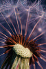 Dandelion (Dane Vandeputte) Tags: nikon d7200 nikond7200 nikonafsvrmicronikkor105mmf28gifed dandelion plant seed seeds macro bokeh depthoffield spring gentle soft f11 105mm tripod flickrchallengegroup flickrchallengewinner