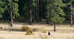 Moose Along Soda Butte Creek (A Wild Western Heart) Tags: moose yellowstonenationalpark wildlife lifelist goals freedom nature