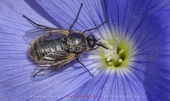 "THE LIFE OF INSECTS // La vida de los insectos (ANDROS images) Tags: andros images photos fotos fotoandros ""androsphoto"" ""fotoandros"" lugares places ""sitiosespeciales"" ""franciscodomínguez"" interesante naturaleza ""naturalezaviva"" ""amoralanaturaleza"" ""imágenesdenuestromundo"" ""sólotenemosunatierra"" ""planetatierra"" ""amarlatierra"" ""cuidemoslatierra"" luz color tonos ""portierrasespañolas"" ""nuestro ""unahermosatierra"" ""reflejosdeluz"" pasión viviendo ""pasiónporlafotografía"" miradas fotografías ""atravésdelobjetivo"" ""elmundoenimágenes"" pictures androsphoto photoandrosplaces placesspecialsites interesting differentnaturelivingnature loveofnature imagesofourworld weonlyhaveoneearthplanetearth foracleanworldlovetheearth carefortheearth light colortones onspanishterritoryourworld abeautifulearth lightreflection ""living passionforphotographylooks photographs throughthelens theworldinpicturesnikon ""nikon7000"" grupodemontañairis androsimages franciscodomínguezrodriguez insectos insecto mosca moscas chupopteros"
