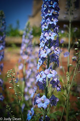 Delphiniums at Hidcote (judy dean) Tags: judydean 2017 hidcote gardens delphinium blue flowers buildings