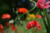 DSC_1372a (Fransois) Tags: pavots fleurs flowers bokeh granby qc poppies