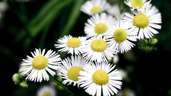(herryz) Tags: 夏日 花园 白色 黄色 花 garden beautiful white yellow summer flowers