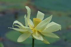 White Lotus (bamboosage) Tags: takumar 200 35 preset m42