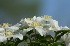 In the garden.... (eric zijn fotoos) Tags: sonyrx10111 sonyrxiii flower makro nederland bloem nature macro sonyrx10m3 detail flora natuur