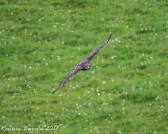 common buzzard (RCB4J) Tags: ayrshire nature rcb4j ronniebarron scotland sigma150500mmf563dgoshsm sonyilca77m2 art falcon peregine photography raptor wildlife commonbuzzard buzzard buteobuteo naturethroughthelens
