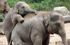 asiatic elephant Blijdorp JN6A8905 (joankok) Tags: elephant olifant aziatischeolifant asiaticelephant blijdorp mammal zoogdier dier azie asia animal bijdorp herbivore