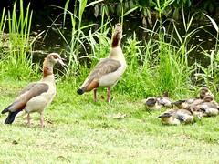 Waakzaaam . (Franc Le Blanc .) Tags: panasonic lumix ganzen nijlganzen birds nature fauna waalwijk sloot ngc npc
