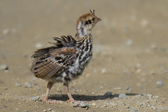 Steppin' Out (kdee64) Tags: ruffedgrouse bonasaumbellus summer annielake chick yukon northerncanada