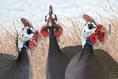 Guineafowl (iseedre) Tags: guineafowl birds ugly feathers beaks combs reeds rushes cattails