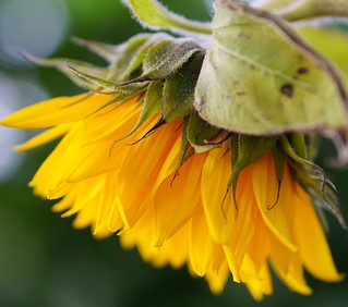 upside down sunflower
