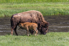 Bison calf is reunited with its mother