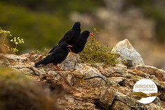 Red-billed Chough (Paradise in Portugal) Tags: portugal alentejo redbilledchough chough pyrrhocoraxpyrrhocorax birdinginportugal birdwatchinginportugal