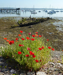 Poppy foreshore (roger_forster) Tags: poppies foreshore seawall wreck derelict hulk m113 minesweeper wwgosporthardwayexplosionhampshirenasnautical archaeology society survey volunteer sea boats mud pier jetty