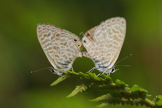 Leptotes pirithous mating (2)