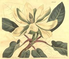 Anglų lietuvių žodynas. Žodis magnolia fraseri reiškia magnolija fraseri lietuviškai.