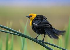 Yellow Headed Blackbird (E_Rick1502) Tags: