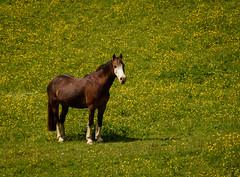 Silent Observer (EXPLORED) (Katrina Wright) Tags: dsc1901 horse meadow buttercups chestnut mare limefittpark cumbria