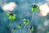 Clover with bokeh clouds (not without my camera_) Tags: 2017 digital zoomlens 24105mm 365 365in2017 365challenge 365project dailyphoto photoaday picaday pad2017 everyday dailylife quotidian mundane life flowers plant clover fourleafclover lucky shamrock luckycharm luck symbol symbolic bokeh dof depthoffield selectivefocus green availablelight naturallight growing growth nature