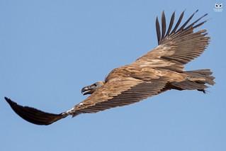 Grifo, Griffon Vulture (Gyps fulvus)