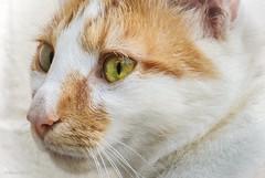 Tiki (nehall) Tags: cats felines pets petportraits