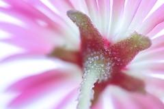 Bottoms Up (haberlea) Tags: garden mesembryanthemum flower pink bottomsup under bottom stem petals nature mygarden macromondays macro hmm