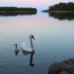 Single mom (liisatuulia) Tags: ilta joutsen kyhmyjoutsen poikanen porkkala swan evening reflection water finland