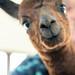 Lizzie%2C+baby+Alpaca+just+4+days+old