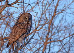 Great Gray Owl...#10 (Guy Lichter Photography - 3.4M views Thank you) Tags: owlgreatgray canon 5d3 canada manitoba wildlife animals birds owls