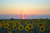 Sunflowers (Can Bozkır) Tags: sunset sunflower sunflowers thrace europe trakya beautiful composition lighting dusk interesting turkey nikon d3100 dslr digital nikondslr nikondigital nikond3100 agriculture colors