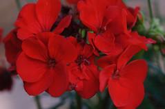 20170611_Jardins_Secrets_Vaulx_Fl (5 sur 23) (calace74) Tags: rhonealpes fleurs france jardin jardinssecrets macro