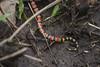 Serpiente coralillo del occidente mexicano (Micrurus distans) (IM.estudio) Tags: mascota pueblo magico sierra madre occidental bosque naturaleza coralillo serpiente vibora venenosa jalisco