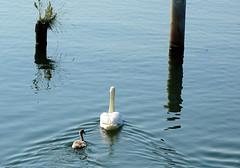Le rescapé (jean-daniel david) Tags: cygne cygnon oiseau oiseaudeau nature reflet lacdeneuchâtel