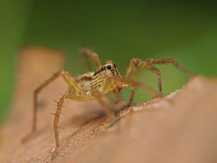 Jumping Spider (WilliamPeh) Tags: olympus zuiko e5 macro jumping spider explore