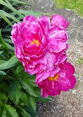 Pink Beauty (SurFeRGiRL30) Tags: peony pink flower nature beautiful spring nj green leaves petals