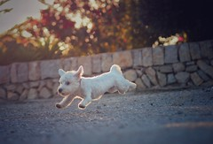 Pippa...the flying dog part II (VintageLensLover) Tags: olympus 75mm18 zuiko bokeh dof flying terrier westie westhighlandterrier hund dog pippa