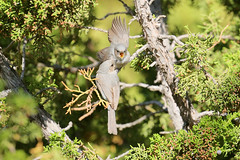 Bushtits Feeding (6132) (Bob Walker (NM)) Tags: bird bushtit psaltriparusminimus bush whiterock newmexico usa feedingyoung