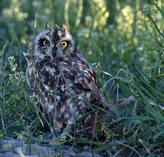 NIK_5202 (cintia scola) Tags: nikond7100 cíntiascola owls shortearedowl summer2017