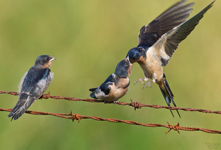 Barn swallow with fledglings