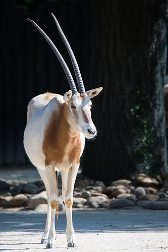 Sahara oryx
