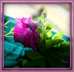 A lonely Little Petunia (Lynn English) Tags: petunia seed droplets bicolor pink green lens naturethroughthelens