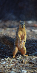 squirrel (lgflickr1) Tags: standing stare squirrel sciuridae rodent california nikon d750 70200mm arborealrodent treesquirrel orange paws cute curious posing portrait outdoors animal nature friendly blur nopeople exterior