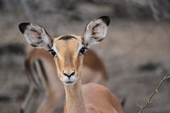 Impala (Pixi2011) Tags: antelope wildlife krugernationalpark africa nature allnaturesparadise
