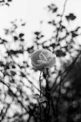 img300 (Robyn Sewell) Tags: film nikon nikonfe flower leura trix400 800 xtol