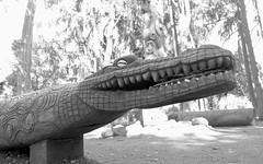 a dentist's dream-patient (Riex) Tags: crocodile aligator gator teeth dents denture carving sculpture wood wooden bois stanford university campus paloalto california californie fujifilm xm1 fujinon xc1650mmf3556ois xtrans bw blackandwhite noiretblanc monochrome explored explored06102017 papuanewguinea garden