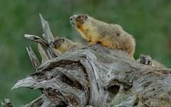 3 Yellow-bellied Marmots - Central Interior, BC (bcbirdergirl) Tags: marmotaflaviventris rockchuck yellowbelliedmarmot bc marmots marmotfamily family yellowbelliedmarmots wildife centralinterior interior