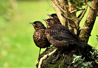 Blackbirds.