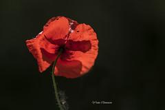 coquelicot papillon (vyclem78) Tags: coquelicot fleur fleurs macro proxy rouge noir végétal